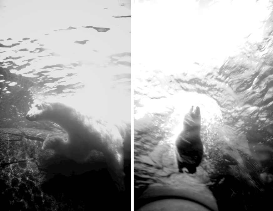 polar bear swimming BW