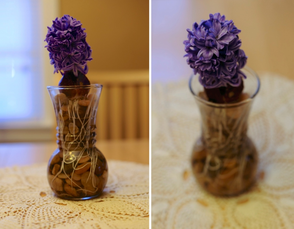 hyacinth bulb losrodriguezlife.com