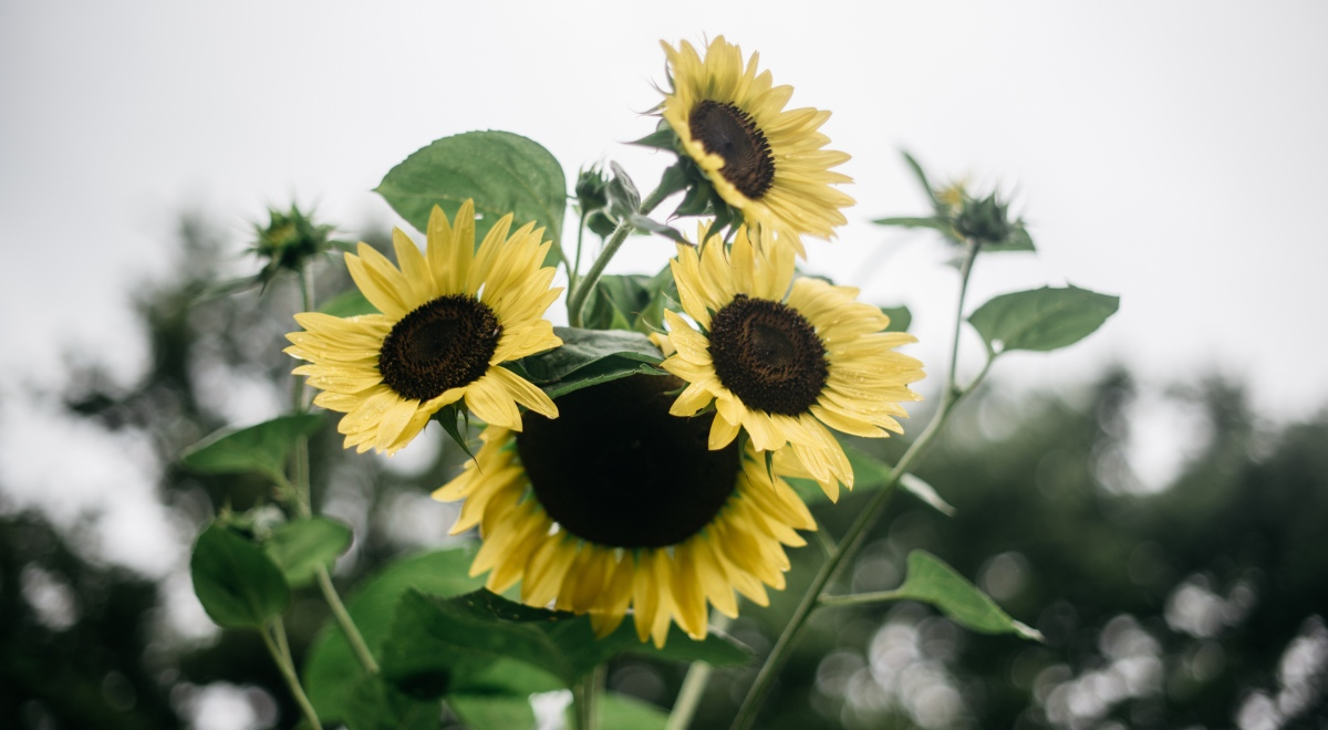 sunflower trench composting