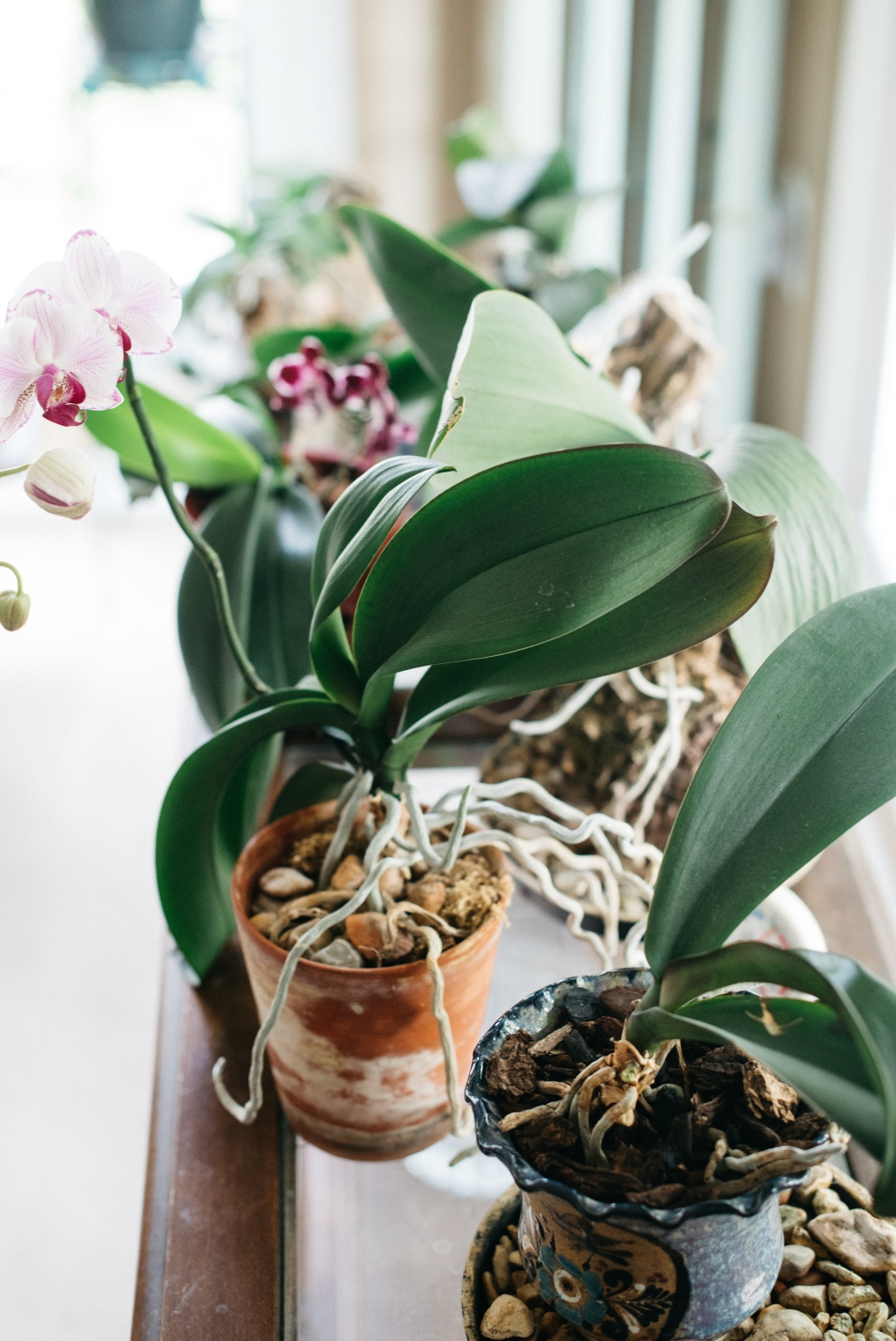 Guide to Caring for Phalaenopsis Orchids - Moth Orchid Care